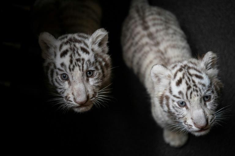 tigers 3.jpg
