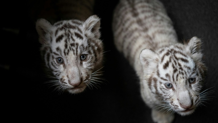 White tiger triplets make first public appearance in SW China