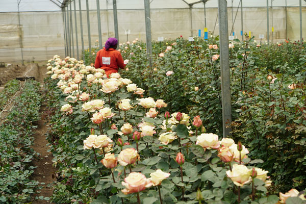 A worker is examining the roses planted at a flower farm in Kenya. [Photo: China Plus]