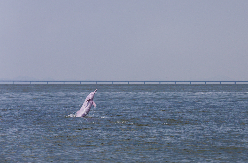 Endangered dolphins spotted near South China's new mega bridge