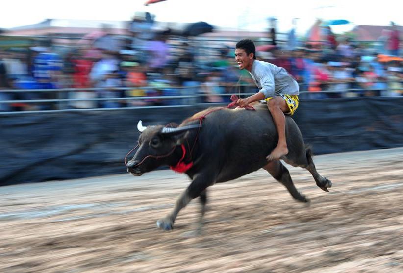 Buffalo racing festival held in Chonburi, Thailand