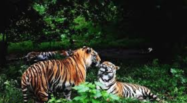 Siberian tiger stirs up trouble in Northeast China