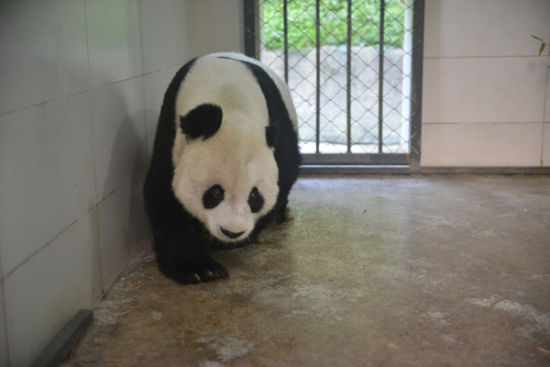 Giant panda Gao Gao returns home after 15-year stay in America