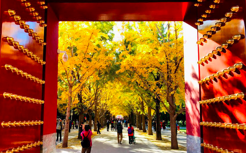 Ginkgo trees turn Temple of Earth into a sea of yellow