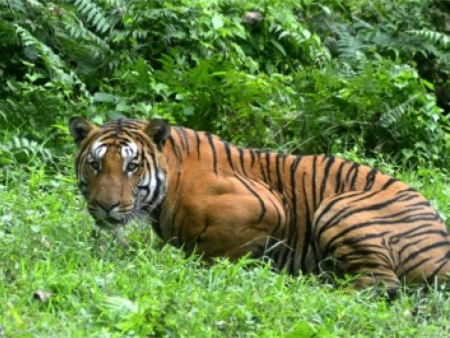 Man-eater tigress killed in India after massive hunt