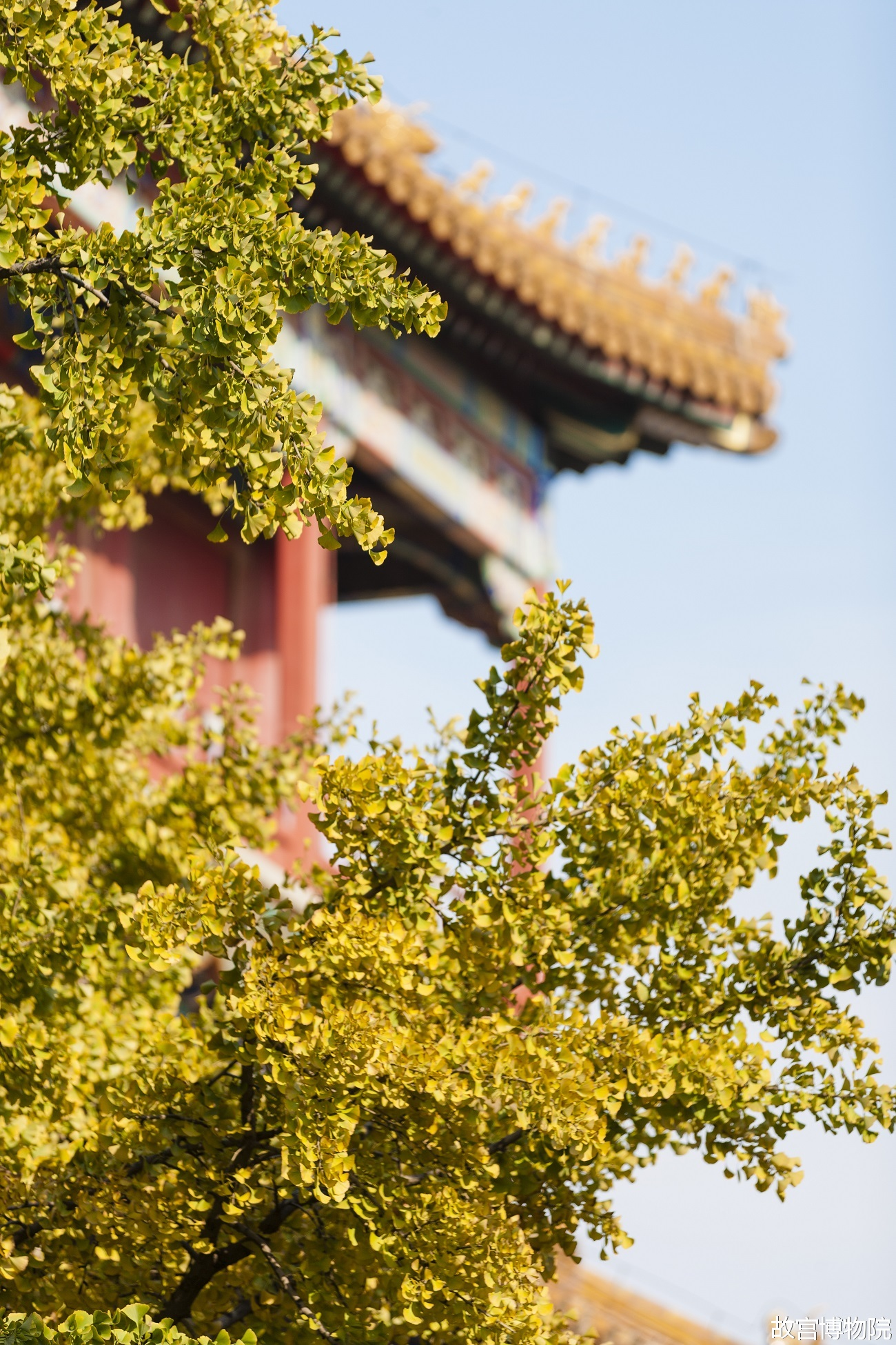 Photos: Golden autumn scenery of Forbidden City