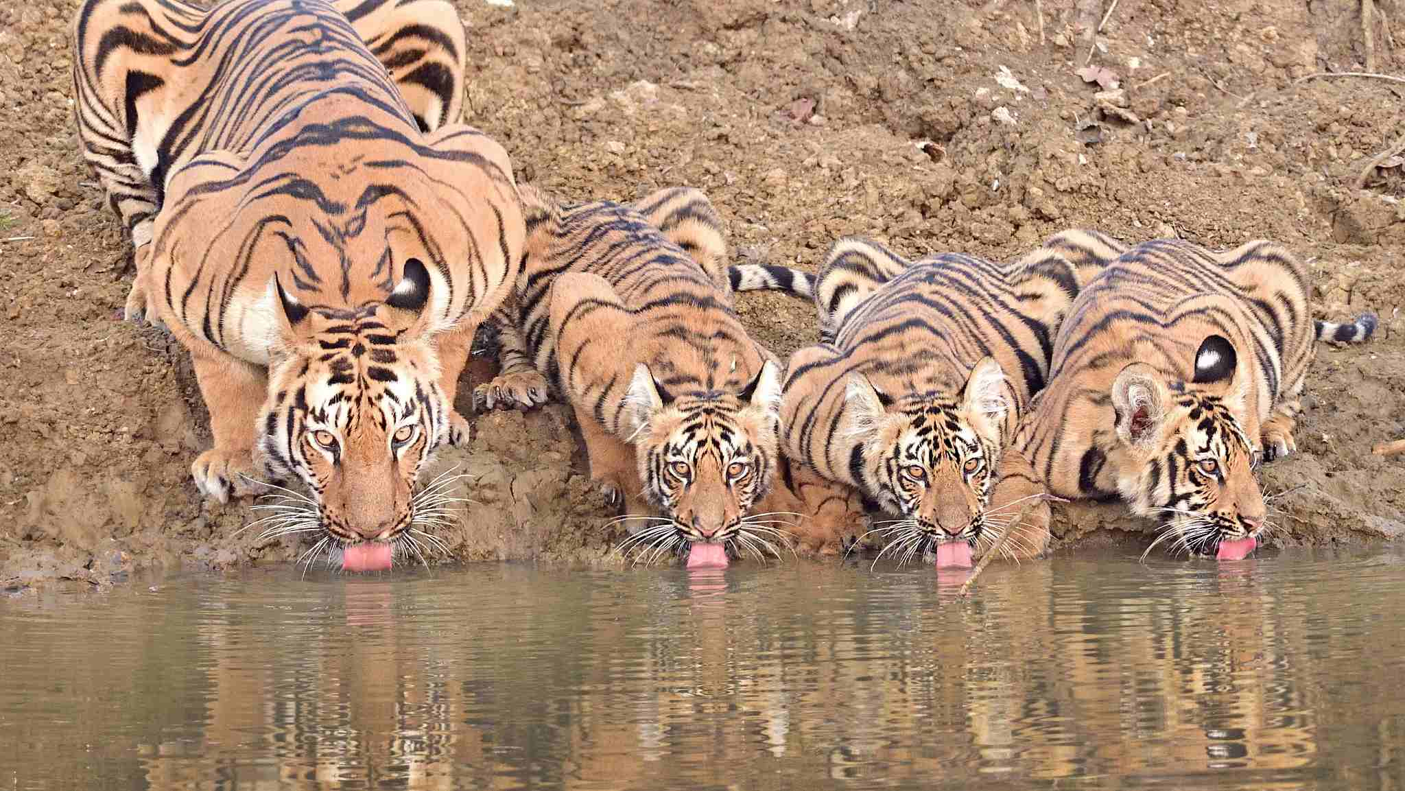 Man-eating tigress shot dead in India after allegedly killing 13
