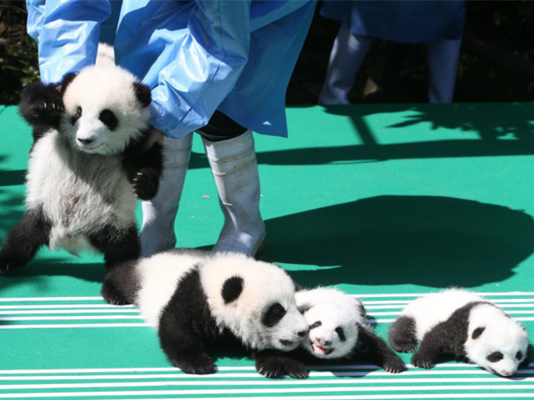 Public panda program shows China's commitments to protecting endangered species