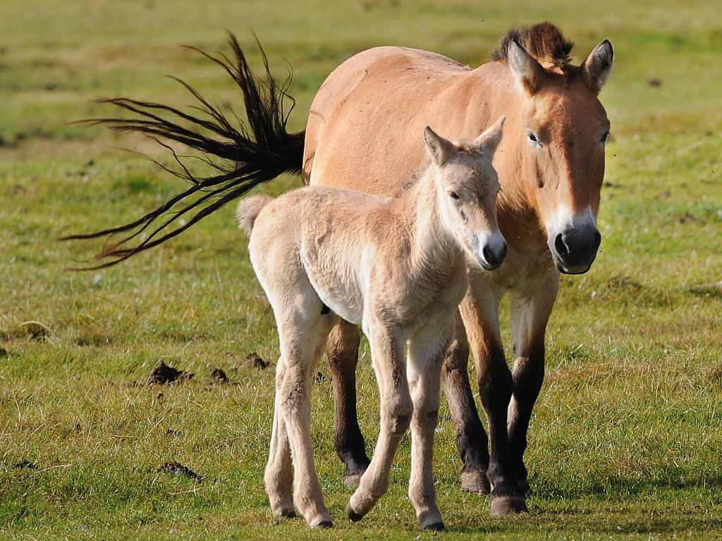 China now largest breeder of Przewalski's horses