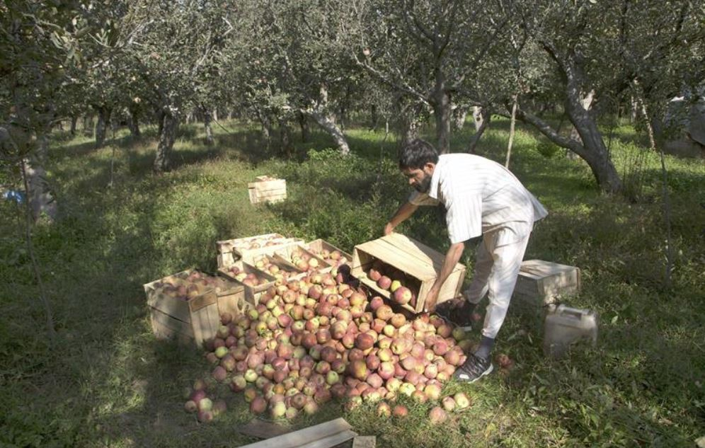 Early snowfall in Indian-controlled Kashmir plains wreaks havoc on apple orchards