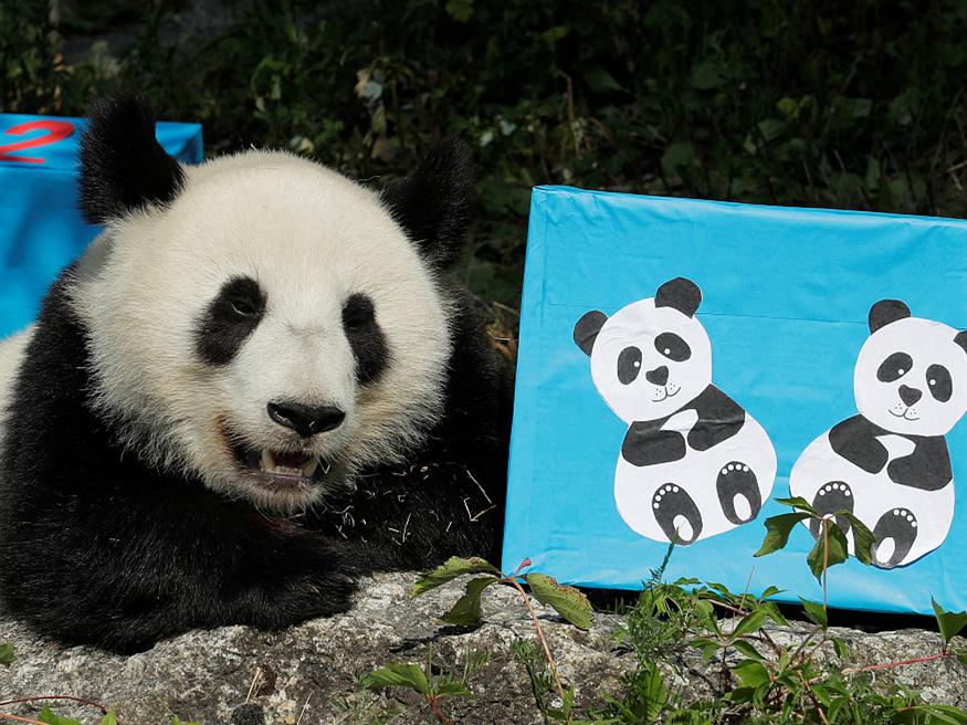 Panda twins at Vienna zoo prepare to return to China