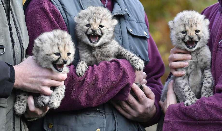 Baby cheetah triplets make debut in German zoo