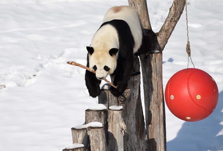 Pandas enjoy their third winter season in Northeast China