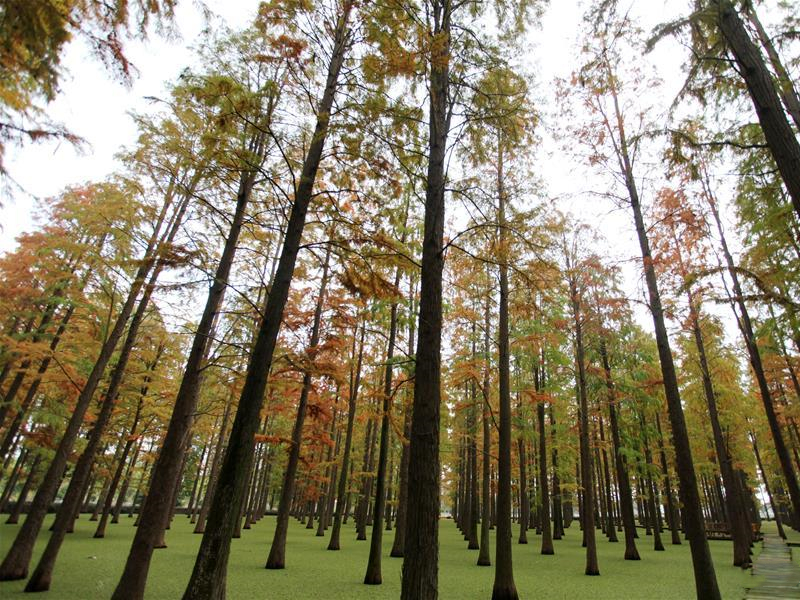 Scenery of dawn redwood forest at Luyang Lake Wetland Park in E China