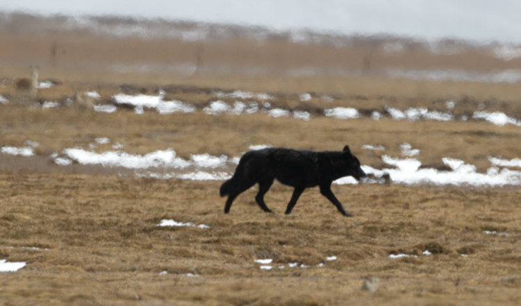 Rare black wolf caught in Sanjiangyuan National Park