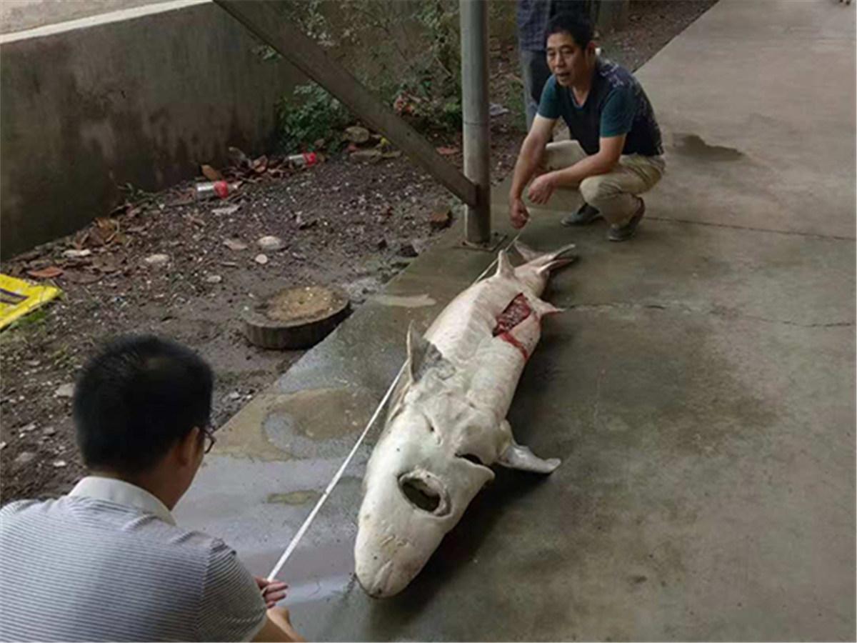 Bridge construction halted after 36 Chinese sturgeons die