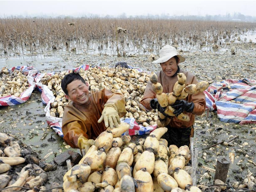 Lotus roots harvest begins in E. China
