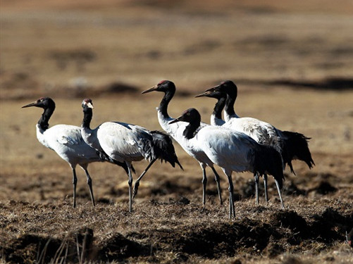 Number of black-necked cranes increases in southwest China's Yunnan Province