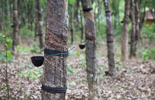 Thailand needs 30 pct cut in rubber plantations: agriculture minister