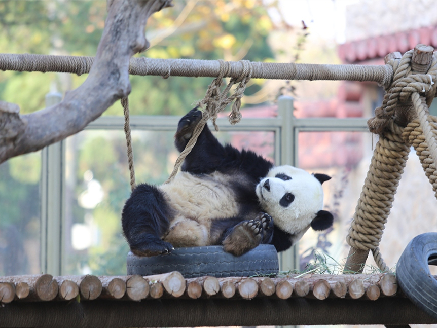 Panda strikes poses in Northeast China