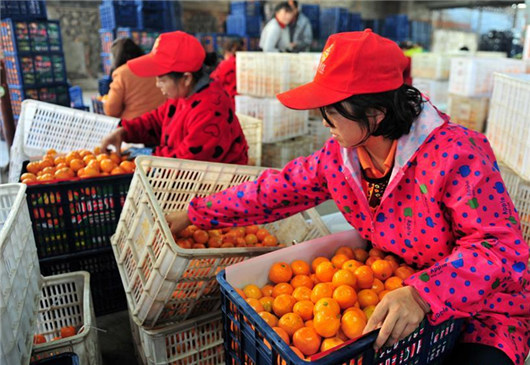 Workers busy harvesting and packaging citrus for overseas orders in China's Yichang