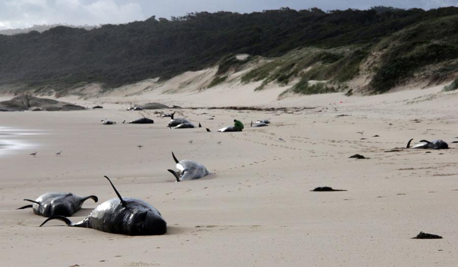 Mass Australian stranding leaves 28 whales dead