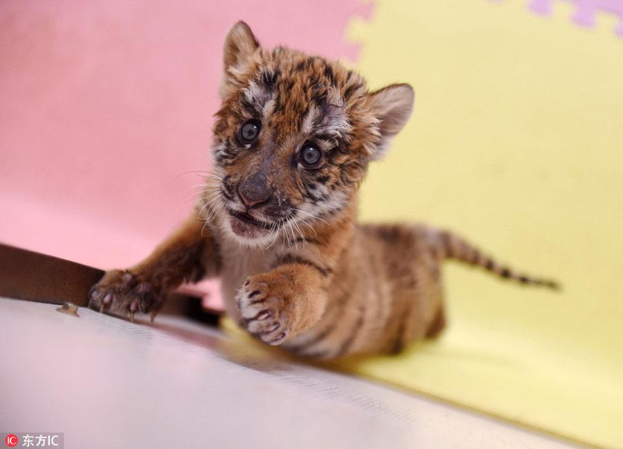 City boasts most South China tiger in captivity