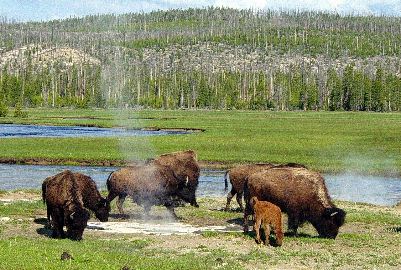 Montana tribe rejects bison transfer deal