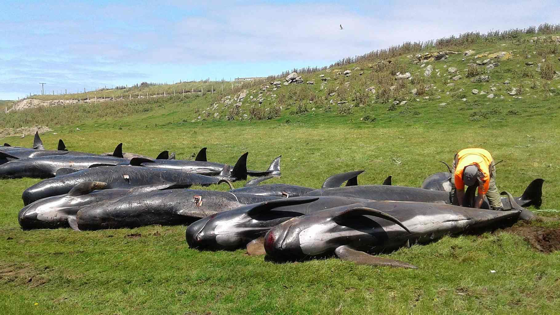 Whales found stranded on rocks in New Zealand