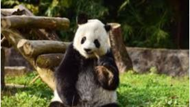 Returned San Diego Zoo panda meets public in China after quarantine