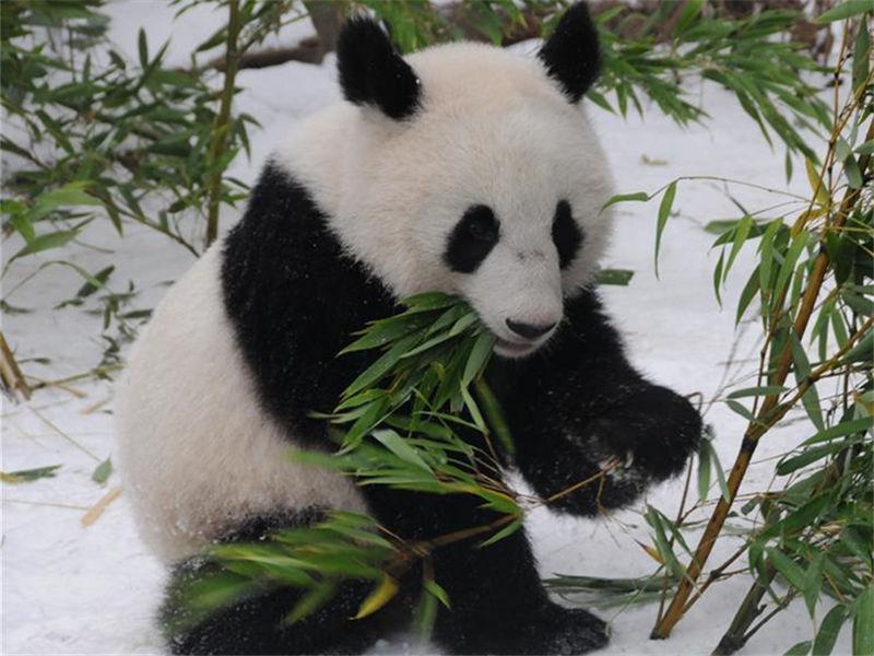 Austrian-born panda twins return to China