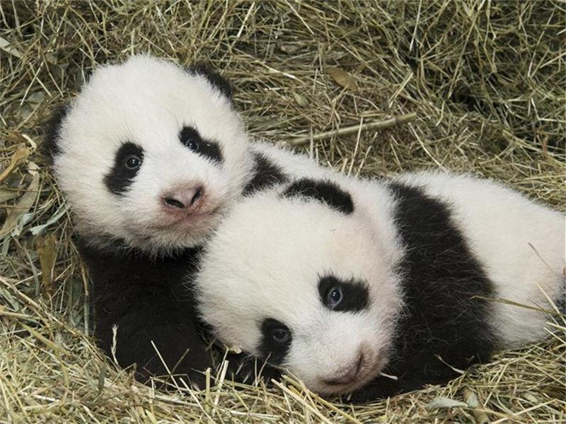 Twin panda cubs born in Austria return to China