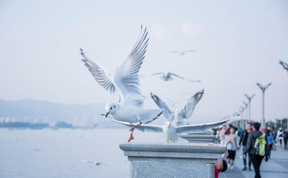Black-headed gulls migrate to Kunming
