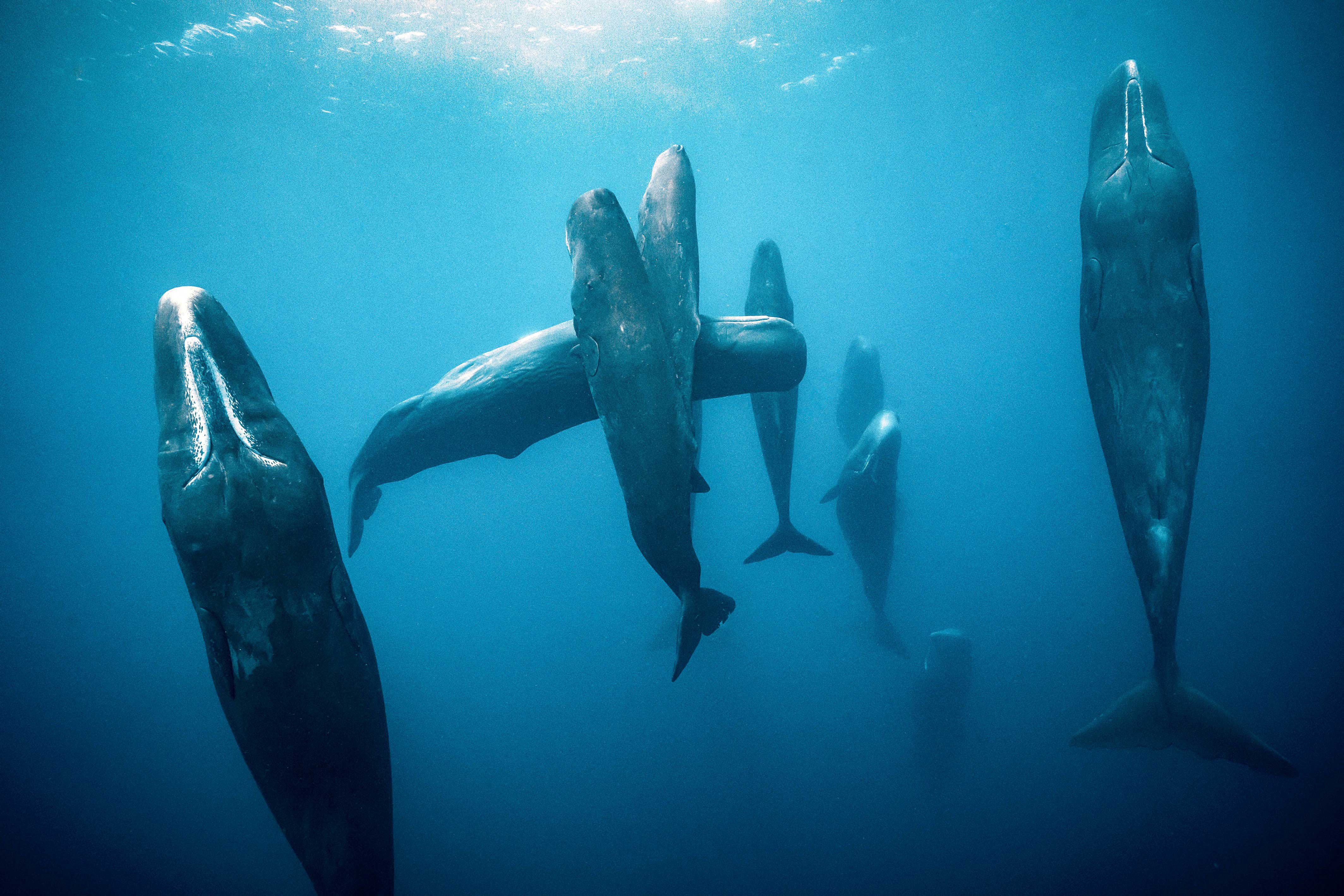 Vertically-sleeping sperm whales captured in Dominican waters