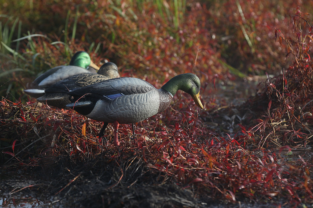 New Zealand's wetlands urgently need protection: official