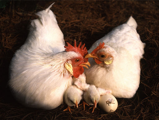 Scientists are studying what makes chickens happy
