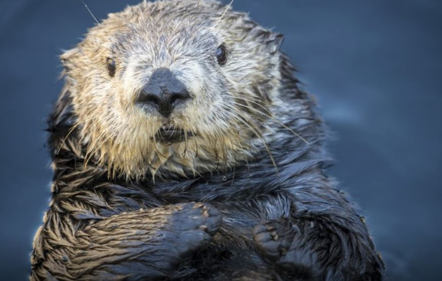 Aquarium apologizes for tweets about sea otter