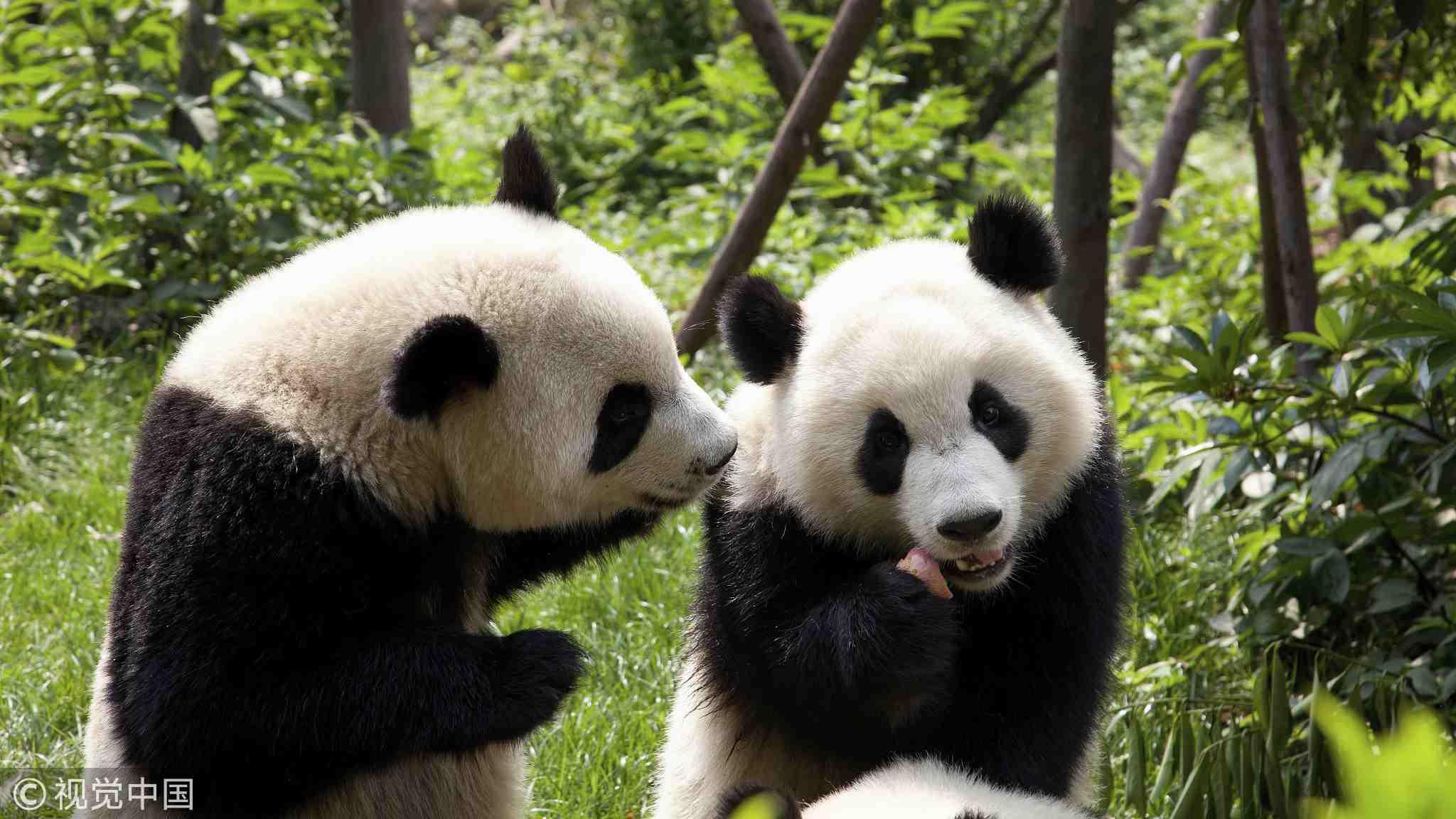 大熊猫 VCG.jpg