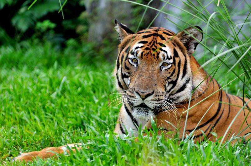 Endangered tiger DNA sent into space as backup