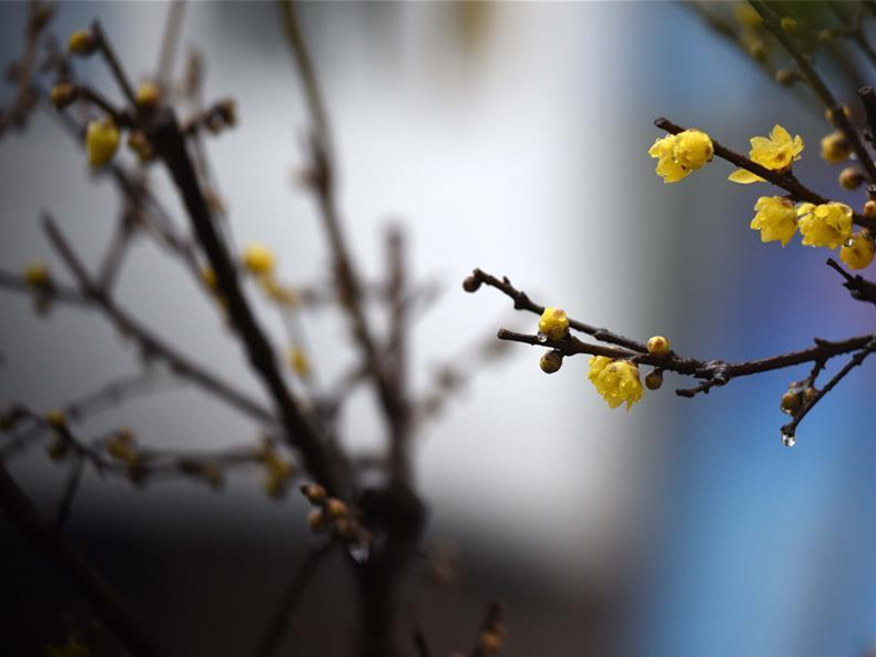 Plum blossoms in east China's Jiangsu