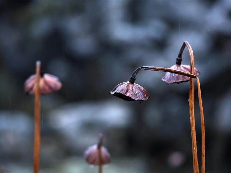 In pics: withered lotus in rain in Huai'an City, E China's Jiangsu