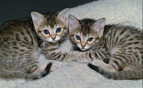 China's first clone kitten likely to be born early in 2019