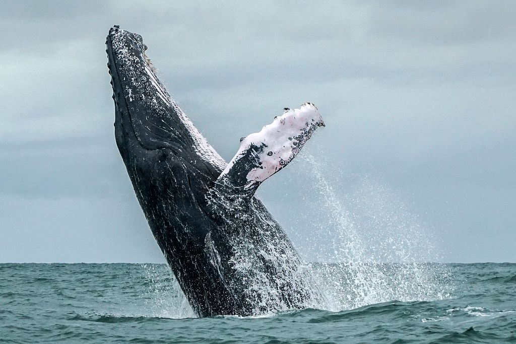 Japan announces IWC withdrawal, will resume commercial whaling