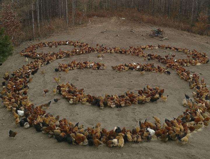 Creative chicken feeding becomes online hit