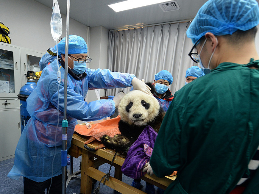 Panda sisters in good health, released to the wild