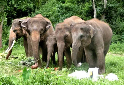 Nearly 100 elephants enjoy picnic in Nepal with favorite food