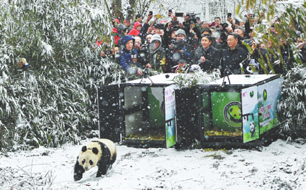 Improving the quality of bamboo can help pandas return to nature