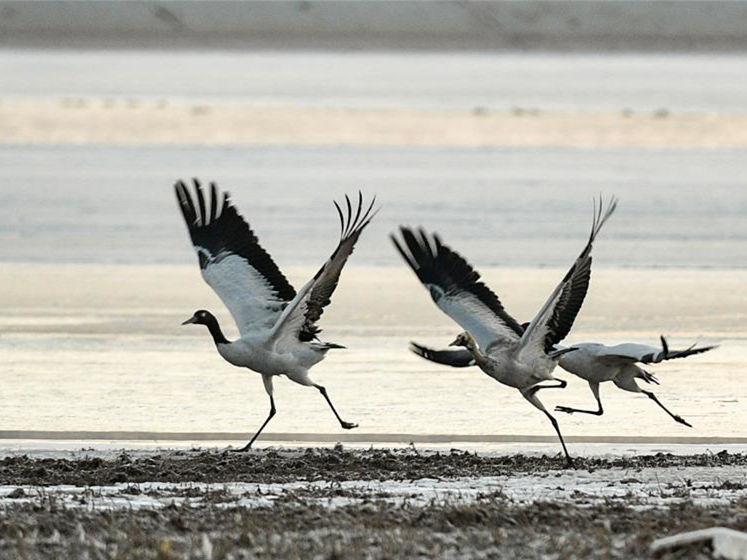 Tibet becomes ideal habitat for black-necked cranes in winter
