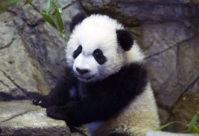 Panda Bei Bei's zoo cam goes dark due to government shutdown