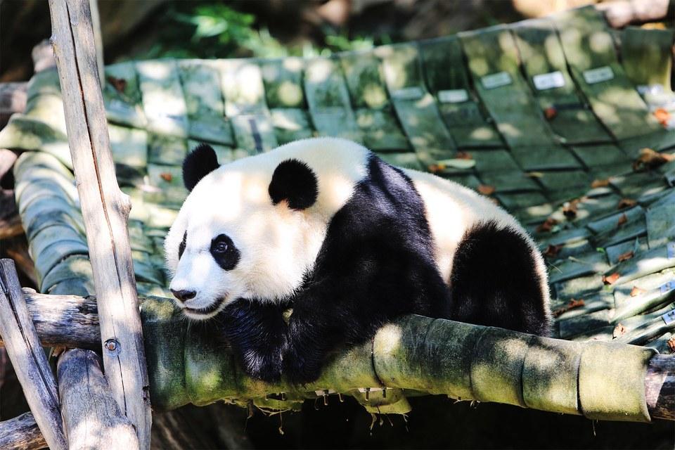 Panda Bei Bei's zoo cam in Washington, D.C. goes dark